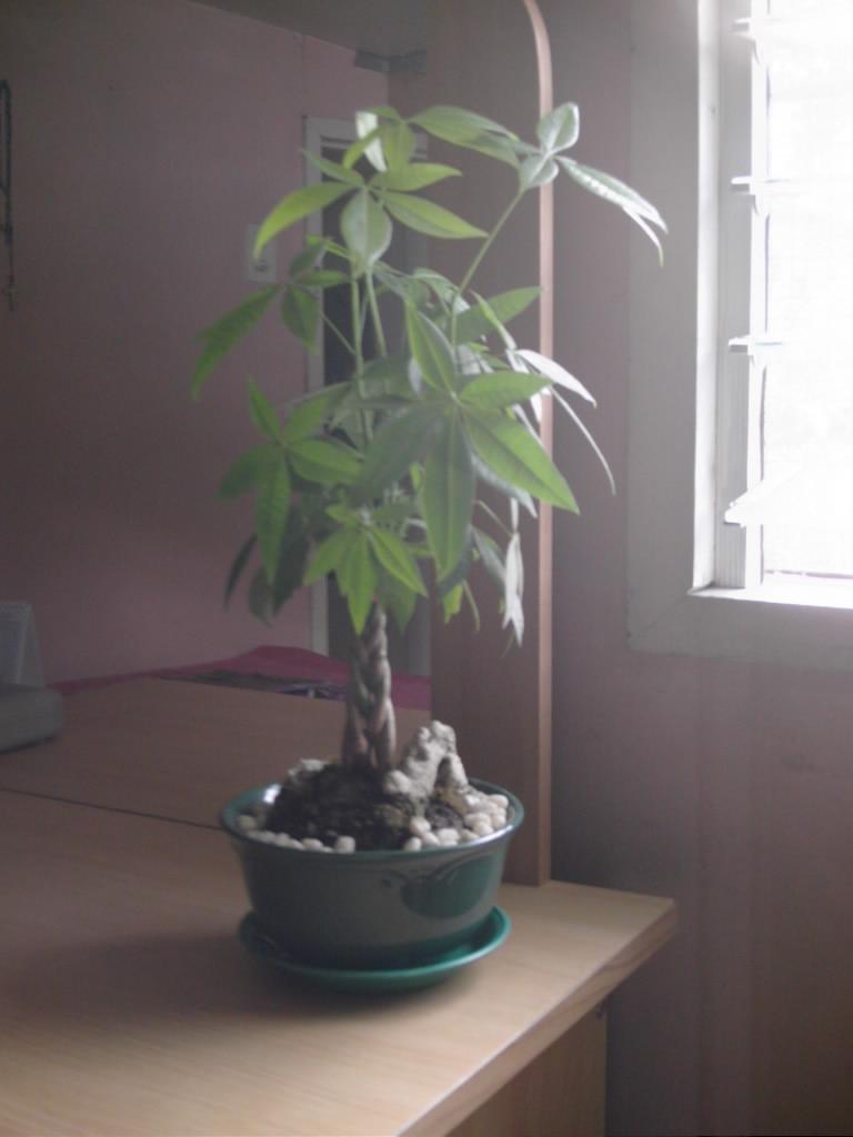 money plant tree. gave me a Money Tree plant